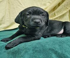 Esther is an adoptable Black Labrador Retriever Dog in Saint Cloud, MN. ~~Came to TCHS as part of an unplanned litter ~~Active and loves to wrestle with her littermates ~~Sweet, friendly, and enjoys s...