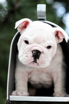 Aww I would love for a bulldog pup to surprise me in the mail :)