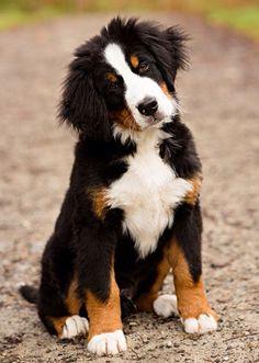 Mijn favoriete hond blijft Tosca, een Berner Sennen
