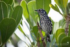 Elfin woods Warbler, Endemic to Puerto Rico, Reinita de Bosque Enano, Puerto Rico, Gloria Archilla