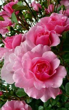 Rosas rosadas | Pink roses - #flores #flowers