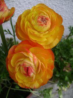 Foro de InfoJardín - Nuestras flores...colores que cautivan.
