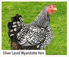 Silver Laced Wyandotte Hen, 5 of our new chicks