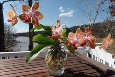 Risultati immagini per grow orchids in water Water Culture Orchids, Orchids In Water, Andaman And Nicobar Islands, Cattleya Orchid, Growing Orchids, Hydroponics, Twinkle Twinkle, Make It Yourself, Succulents