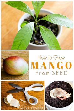 Grow Mango from Seed Love mango? Save the seed and use this step-by-step tutorial to grow a mango plant. Save the seed and use this step-by-step tutorial to grow a mango plant. Home Vegetable Garden, Fruit Garden, Garden Seeds, Edible Garden, Garden Plants, Indoor Garden, Growing Fruit Trees, Growing Seeds, Regrow Vegetables