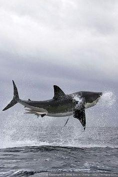Los tiburones pueden volar