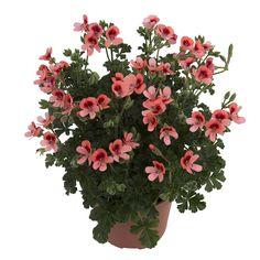 #Angeleyes #Orange #Angelpelargonium #richflowering #allsummerlong #flowers #garden #plants