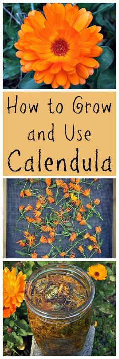 Grow and Use Calendula Learn all about this amazing edible, medicinal, and beautiful herb!Learn all about this amazing edible, medicinal, and beautiful herb! Edible Plants, Edible Flowers, Edible Garden, Healing Herbs, Medicinal Plants, Organic Gardening, Gardening Tips, Organic Farming, Vegetable Gardening