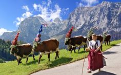 """The Almabtrieb (German language literally: drive from the mountain pasture) is an annual event in the alpine regions in Europe, referring to a cow train in autumn."""