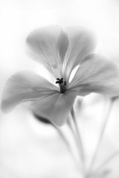 White Geranium Flower Photograph