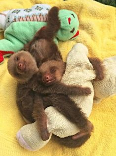 Two Baby Sloths Cuddling With A Plush In many ways, pets are like children - and their obsession with plushie toys is something that demonstrates it. When a doggie, a kitty or a little mouse cuddles Cute Baby Sloths, Cute Sloth, Baby Otters, Cute Little Animals, Cute Funny Animals, Happy Animals, Wild Animals, My Spirit Animal, Cute Animal Pictures