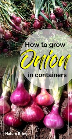 How to grow Onion Growing Onions in container Onion care Organic Vegetables, Growing Vegetables, Gardening For Beginners, Gardening Tips, Flower Gardening, Gardening Zones, Gardening Services, Gardening Supplies, Planting Onions