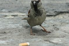 Smoke Up, Chickadees! Mother Birds Line Nests With Parasite-Repelling Cigarettes