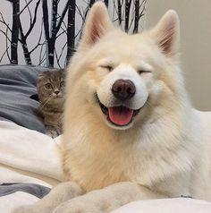 Samoyed and cat