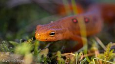 Red Eft by DaveHuth, via http://davehuth.com