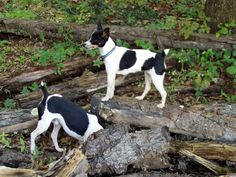 The Rat Terrier comes in a selection of coat colors and sizes.