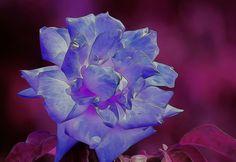 Y si la rosa no fuera rosa podría ser azul