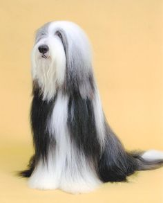 Bearded Collie of Jake