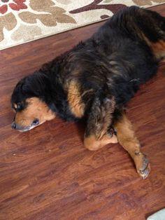 Tibetan Mastiff Rescue, Inc. - Max 's Rescue Success Story - Click on Pic