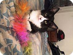 Brooklyn, NY - Domestic Shorthair. Meet Tremont, a cat for adoption. http://www.adoptapet.com/pet/17929612-brooklyn-new-york-cat