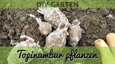 Topinambur pflanzen - Anbau von Topinambur im eigenen Garten