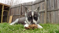 Husky Puppy Proofing Your Home « Bama Huskies