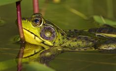 frog reflection - Google Search