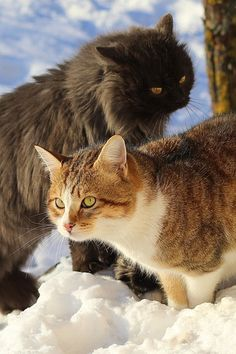 """theperfectworldwelcome:""""cats-and-more:"""" Shop Cat""""Beautiful ! Cute Cats And Kittens, I Love Cats, Cat Watch, Lots Of Cats, Wild Creatures, Maine Coon Cats, Cute Animal Pictures, Beautiful Cats, Cat Life"""