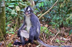 thomas leaf monkey sumatra jungle trekking bukit lawang