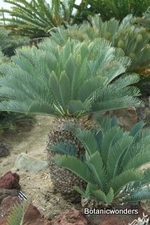 Cycads! Great Landscaping plants.