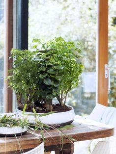 Kamerbomen - woonplant van de maand januari. Polyscias heeft het betere boomsilhouet, compleet met stam, takken en bladerkronen. En dat allemaal op hanteerbaar huiskamerformaat, wat wil je nog meer?