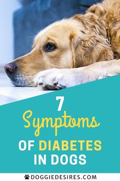Symptoms of diabetes in dogs: just like humans, dogs can get diabetes and the symptoms that your four legged friend experiences are exactly the same as the ones experienced by ordinary people. When there isn't sufficient production of insulin hormone in their systems, a dog is declared diabetic. Click through to find out the symptoms of a diabetic dog. #doghealth #dogcare #diabetesindogs #dogownertips #diabeticdog