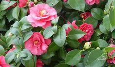 osCurve Jardines: Camelia Nombre científico Camelia japonica  http://oscurve-jardines.blogspot.com