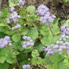 Mexican ageratum | Ageratum houstonianum - Competes with and has the potential to replace indigenous species. Existing legislation: CARA 2002 – Category 1 Proposed legislation: NEMBA – Category 1b.