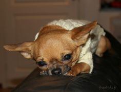 Mimi winter -14 Chihuahua, Winter, Dogs, Cute, Animals, Winter Time, Animales, Animaux, Pet Dogs