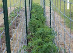 I grow my tomatoes between two rows of cattle panels - Alles über den Garten