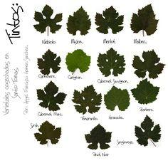 Types of Wine Leaves Guide Vin, Wine Guide, Etiquette Champagne, Art Du Vin, Wine Infographic, Wine Leaves, Grape Vineyard, Wine Facts, Wine Tasting