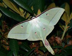 Indian moon moth (Actias selene) by Deanster1983, via Flickr #Moth #Actias_Selene #Deanster1983