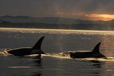 www.pegasebuzz.com | Orca, orque, killer whale, black fish.