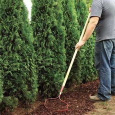 planting privacy hedge