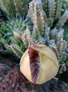 Starfish flower, as a pod, before full bloom