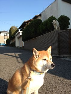 Akita barked at me from high fence
