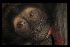 Bébé Orang outan par Yannick Mahé sur L'Internaute