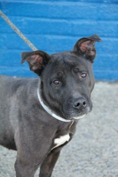 TO BE DESTROYED - 12/16/13  Brooklyn Center -P JUANITA # is A0987108 female black pit mix 3 RS STRAY 12/11/13  So sweet and friendly. She is shep or lab mix and is small and beautiful ,Loves walking on leash. Responsive to direction. She is such a people dog and wants to stay close , enjoys petting and giving kisses . Please help her she is petite and would fit any family. GREAT DOG_SUPER POTENTIAL!