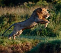 Photo by Four Nomad Lions displaced a big lion from their newly occupied territory.Here is one of them Masai Mara. by jeri Animals Images, Nature Animals, Animals And Pets, Cute Animals, The Lion Sleeps Tonight, Cat Reference, Lion Pictures, Lion Of Judah, Fauna