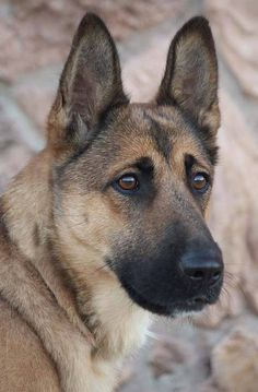 Belgian Shepherd, German Shepherds, German Shepherd Dogs, Bass Fishing Shirts, Dog Paintings, Doge, Best Dogs, Fur Babies, Husky
