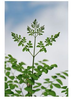 Where to Find Miraculous Moringa in the U.S.