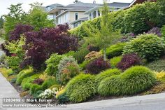 1203498 Grasses, shrubs & small trees in front-yard garden next to sidewalk [Acer palmatum cv.; Kalmia latifolia; Euonymus alata; Ginkgo biloba; Weigela florida 'Wine & Roses']. Pat Burman, Bellingham, WA. © Mark Turner