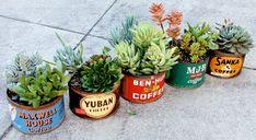 Succulents in vintage coffee tins
