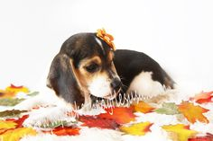 Simple Small Beagle Adorable Dog - 39ce5bd4ea12d6c9714269d6ddb9fa0b--pocket-beagle-puppies-puppies-puppies  Gallery_62897  .jpg